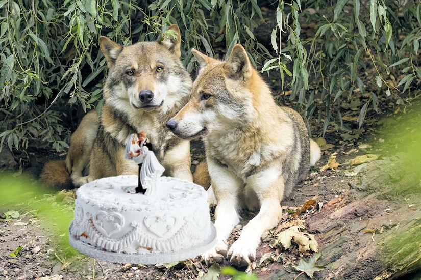 vuk vučica torta